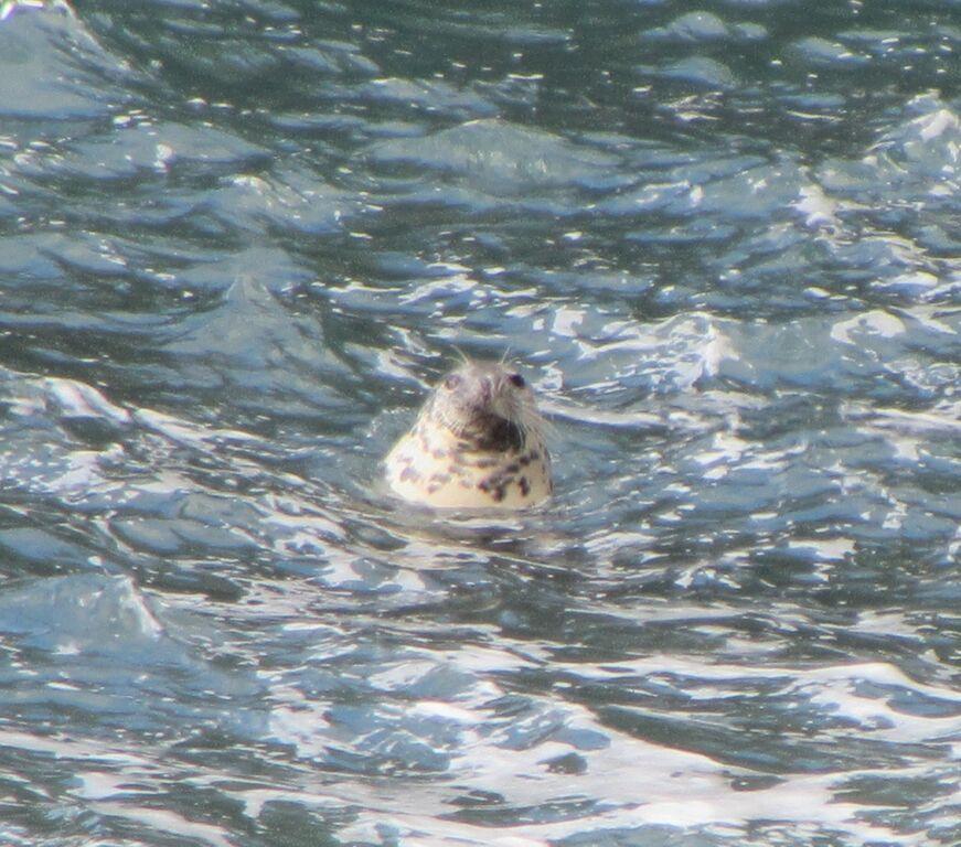 seals are a common sight around the Pembrokeshire peninsula.